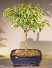 Ficus Breeze Bonsai Tree Large - Variegated <i>(Ficus Benjamina)</i> :: Indoor Bonsai Trees