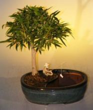 Willow Leaf Ficus Bonsai Tree Land/Water Pot - Medium <i>(Ficus Nerifolia/Salisafolia)</i> :: Indoor Bonsai Trees