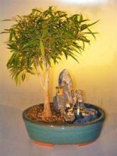 Willow Leaf Ficus Bonsai Tree Stone Landscape Scene <i>(Ficus Nerifolia/Salisafolia)</i> :: Indoor Bonsai Trees