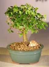 Chinese Elm Bonsai Tree - Aged Straight Trunk Style <i>(Ulmus Parvifolia)</i> :: Indoor Bonsai Trees