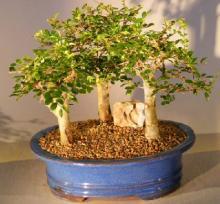 Chinese Elm Bonsai Tree - Aged Three (3) Tree Forest Group <i>(Ulmus Parvifolia)</i> :: Indoor Bonsai Trees