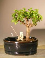 Baby Jade Bonsai Tree Land/Water Pot - Small <i>(Portulacaria Afra)</i> :: Indoor Bonsai Trees
