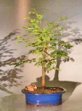 Horseflesh Mahogany Bonsai Tree - Large <i>(Lysiloma Sabicu)</i> :: Indoor Bonsai Trees