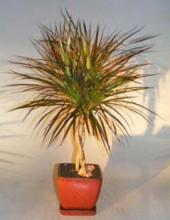 Dracena Bonsai Tree Braided Trunk <i>(Dracena Marginata)</i> :: Indoor Bonsai Trees