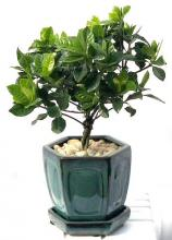 Flowering Gardenia Bonsai Tree - Medium  Braided Trunk Style <i>(Jasminoides Miami Supreme)</i> :: Flowering Bonsai Trees