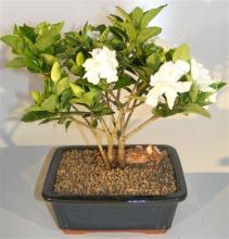 Flowering Gardenia Bonsai Tree - Multi Trunk Style <i>(Jasminoides Miami Supreme)</i> :: Flowering Bonsai Trees