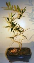 """Flowering and Fruiting Arbequina Olive Bonsai Tree """"S"""" Shaped Trunk <i>(Arbequina)</i> :: Flowering Bonsai Trees"""