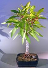 Flowering Ardisia Bonsai Tree - Braided Trunk <i>(Ardisia Crenata)</i> :: Flowering Bonsai Trees