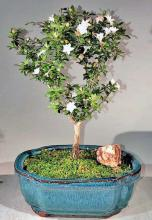 Snow Rose Serissa Bonsai Tree - Medium <i>(Serissa Foetida)</i> :: Flowering Bonsai Trees