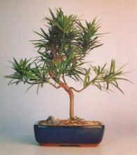 Flowering Podocarpus Bonsai Tree (curved) - Medium <i>(Podocarpus Macrophyllus)</i> :: Flowering Bonsai Trees
