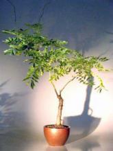 Flowering Japanese Wisteria Bonsai Tree <i>(Wisteria Floribunda)</i> :: Flowering Bonsai Trees