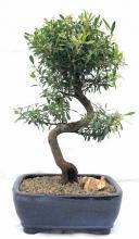 Flowering Chinese Myrtle Bonsai Tree Curved Trunk Style <i>(Myrtus Communis Compacta)</i> :: Flowering Bonsai Trees