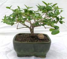 Flowering Premna Bonsai Tree - Small <i>(Premna Obtusifolia)</i> :: Flowering Bonsai Trees