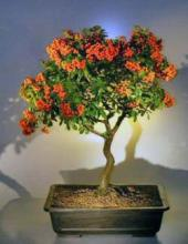 Flowering Pyracantha Bonsai Tree <i>(Pyracantha Mohave)</i> :: Flowering Bonsai Trees
