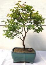 Flowering Jaboticaba Bonsai Tree - Large <i>(Eugenia Cauliflora)</i> :: Flowering Bonsai Trees