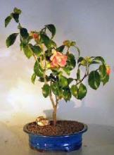 Camellia Bonsai Tree <i>(Camellia Japonica)</i> :: Flowering Bonsai Trees
