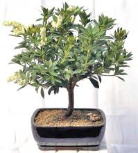 Flowering Japanese Andromeda Bonsai Tree <i>(Pieris Japonica)</i> :: Flowering Bonsai Trees