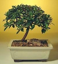Flowering Brush Cherry Bonsai Tree -  Small <i>(Eugenia Myrtifolia)</i> :: Flowering Bonsai Trees