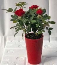 Flowering Mini Rose - Self Watering Tiny Red :: Flowering Bonsai Trees