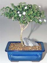 Snow Rose Serissa Bonsai Tree - Small <i>(Serissa Foetida)</i> :: Flowering Bonsai Trees