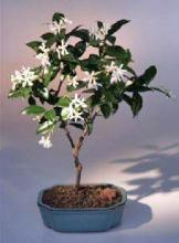 Flowering White Jasmine <i>(Trachelospermum Jasminoides)</i> :: Flowering Bonsai Trees