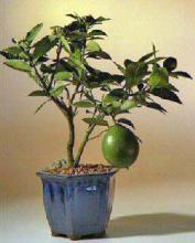 Flowering Lemon Bonsai Tree <i>(Meyer Lemon)</i> :: Flowering Bonsai Trees