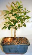 Flowering and Fruiting Arbequina Olive Bonsai Tree <i>(Arbequina)</i> :: Flowering Bonsai Trees