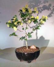 Flowering Texas Ebony <i>(Pithecolobium Flexicaule)</i> :: Flowering Bonsai Trees