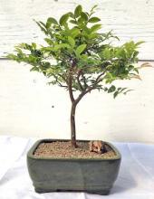 Flowering Jaboticaba Bonsai Tree - Medium <i>(Eugenia Caulifora)</i> :: Flowering Bonsai Trees