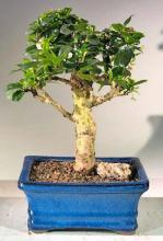Flowering Fukien Tea Bonsai Tree - Upright Aged <i>(Ehretia Microphylla)</i> :: Flowering Bonsai Trees