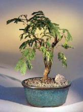 Flowering Mimosa Bonsai Tree <i>(Leucaena Glauca)</i> :: Flowering Bonsai Trees