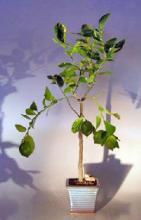Flowering Persian Lime  Bonsai Tree <i>(Citrus Latifolia)</i> :: Flowering Bonsai Trees