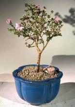 Flowering Pink Serissa Bonsai Tree - Small <i>(Serissa Foetida)</i> :: Flowering Bonsai Trees