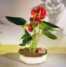 Flowering Red Anthurium (small talk) Bonsai Tree <i>(Anthurium Andraeanum)</i> :: Flowering Bonsai Trees