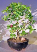 Flowering Dwarf Weeping Barbados Cherry Bonsai Tree - Large <i>(Malpighia Pendiculata)</i> :: Flowering Bonsai Trees