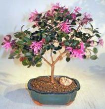 Flowering Chinese Fringe Bonsai Tree <i>(Loropetalum Chinensis)</i> :: Flowering Bonsai Trees