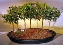 Flowering Brush Cherry Bonsai Tree Seven Tree Forest Group <i>(Eugenia Myrtifolia)</i> :: Flowering Bonsai Trees