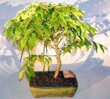 Flowering Water Jasmine Bonsai Tree - Large <i>(Wrightia Religiosa)</i> :: Flowering Bonsai Trees