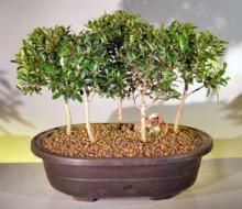 Flowering Brush Cherry Bonsai Tree Five Tree Forest Group <i>(Eugenia Myrtifolia)</i> :: Flowering Bonsai Trees