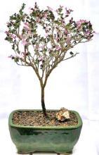 Flowering Pink Serissa - Medium <i>(Serissa Foetida)</i> :: Flowering Bonsai Trees