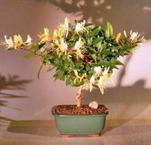 Flowering Japanese Honeysuckle Bonsai Tree - Medium <i>(lonicera Japonica Halliana Purpurea)</i> :: Flowering Bonsai Trees