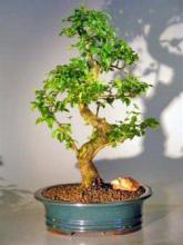 Flowering Ligustrum Bonsai Tree - Extra Large <i>(Ligustrum Lucidum)</i> :: Flowering Bonsai Trees