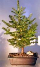 Colorado Blue Spruce Bonsai Tree - Large <i>(Picea Pungens)</i> :: Outdoor Bonsai Trees