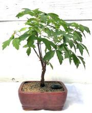Paperbark Maple Bonsai Tree <i>(Acer Griseum)</i> :: Outdoor Bonsai Trees
