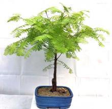 Redwood Bonsai Tree - Medium <i>(Metasequoia Glyptostroboides)</i> :: Outdoor Bonsai Trees