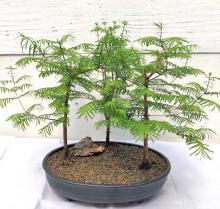 Redwood Bonsai Tree  Three (3) Tree Forest Group - Medium  <i>(Metasequoia Glyptostroboides)</i> :: Outdoor Bonsai Trees