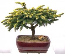 Oriental Spruce Bonsai Tree <i>(Picea Orientalis Tom Thumb)</i> :: Outdoor Bonsai Trees