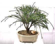 Western Red Cedar Bonsai Tree <i>(Thuja Plicata Whipcord)</i> :: Outdoor Bonsai Trees