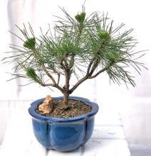 Mugo Pine Bonsai Tree - Small <i>(Pinus Mugo Valley Cushion)</i> :: Outdoor Bonsai Trees