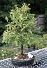 Redwood Bonsai Tree - Large <i>(Metasequoia Glyptostroboides)</i> :: Outdoor Bonsai Trees